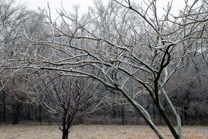 My peach trees hold a fair amount of ice. It wasn't enough to break any branches, so I imagine our electric service was interrupted by an icy branch blowing over a power line.
