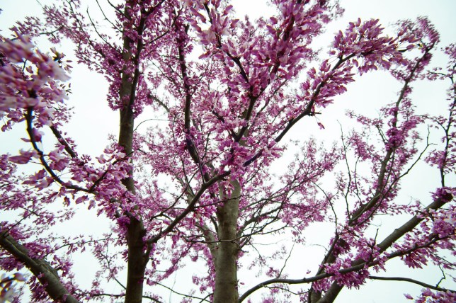 This sea of redbud blossoms is about to ebb into green leaves.