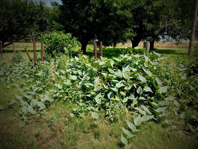 When the house was occupied, this plant, known in Ryan as Spanish gourd, but more commonly as Missouri gourd, was kept in check, but as you can see, it took over this patch.