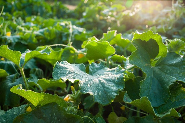 My cantaloup field is lush and verdant. I hope the big leaves and runners mean big fruit in the near future.