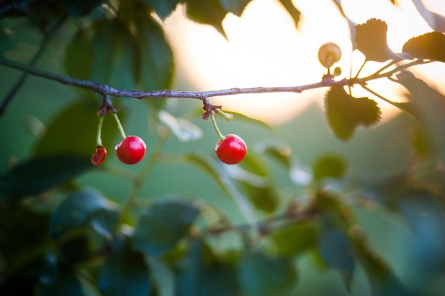 I have two small cherry trees. Since they bloom later than the peaches, sometimes by as much as two months, they survive spring freezes better and bear fruit more often. They are small and insanely sour, but somehow irresistible anyway.