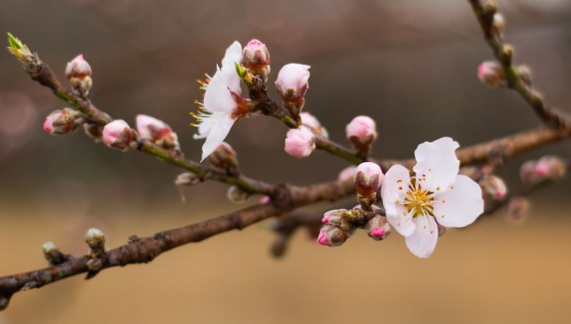 The largest of my four peach trees produced blossoms this week, but we expect a hard freeze tomorrow night, so it won't be making peaches.