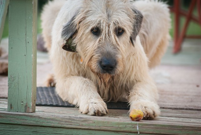 Hawken, our 160-pound Irish Wolfhound, slobbers over a peach I gave him a few nights ago. The next time I looked up, he had eaten it.