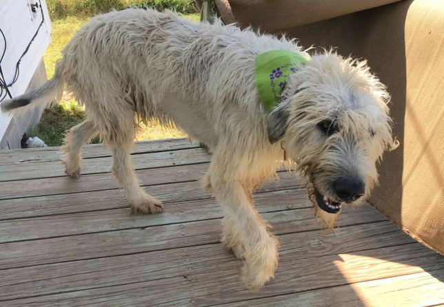 Hawken the Irish Wolfhound wears his green bandana today after a comical chase around the yard to get it on him.