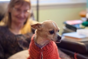 Summer the Chihuahua wears a new sweater Abby made for her this week.