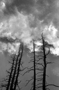 Burned pines reach for clouds on the Lincoln Lake Trail, Mount Evans Wilderness, Colorado.