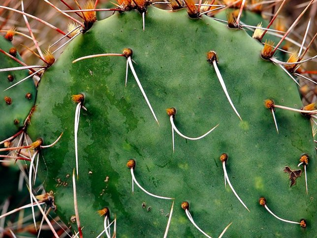 Prickly pear cactus dotted the trails at Caprock.