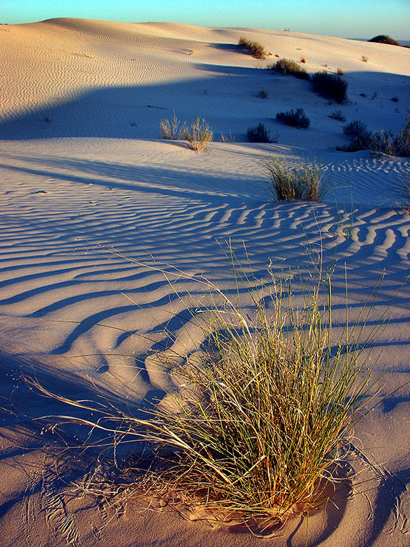 A tuft of grass catches the light as it matures on the gypsum dunes.