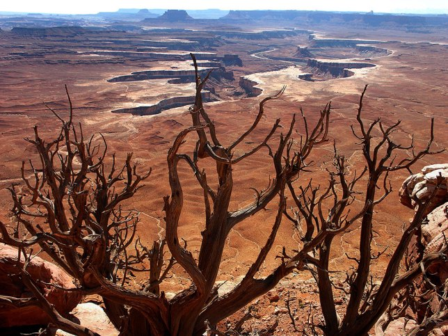 A dead tree stands watch at Green River Overlook at Canyonlands National Park.