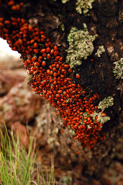 The top of the rim of the Capulin Volcano National Monument, New Mexico, is the home to thousands of migrating ladybugs each summer.