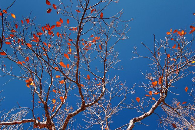 Red autumn foliage trembles against a perfect blue sky along the Bear Canyon trail.