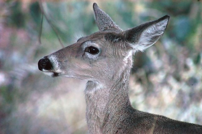 Deer on the Lost Mine trail, Chisos basin, Big Bend.