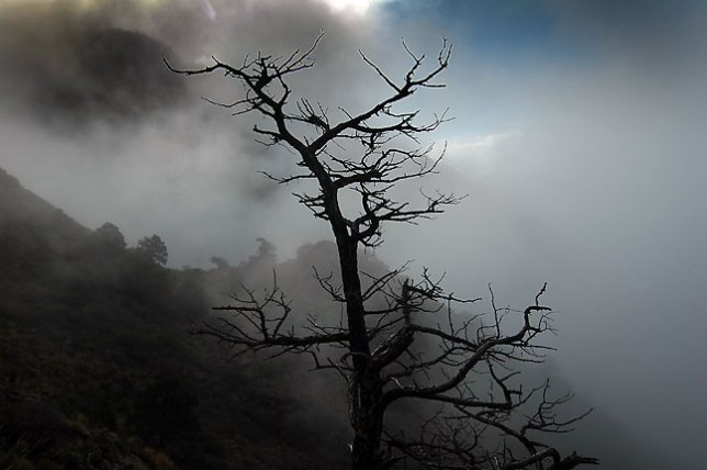 Tree in clouds, morning, Lost Mine trail, Big Bend National Park