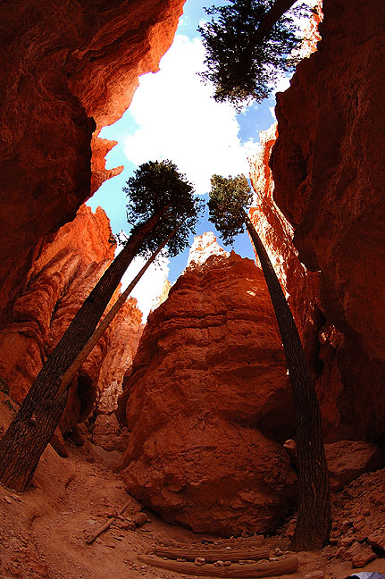 Douglas Firs grow in the Wall Street section of Bryce Canyon.