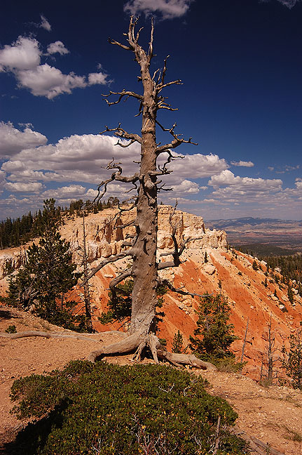 Dead tree near the high point at Bryce on the southern end of the park.