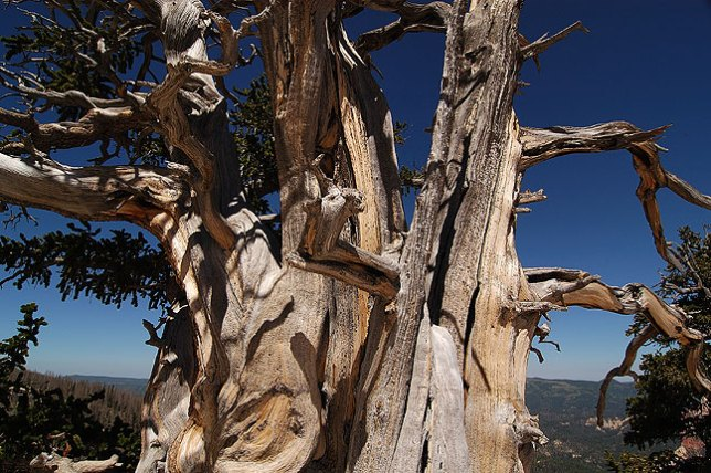 Some of the trees in Cedar Breaks have been growing for 1000 years.