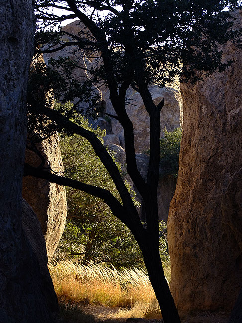 Tree in crack, City of Rocks.