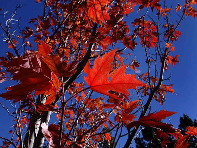 Ruby red leaves and cobalt skies greeted me on Sacramento Peak; this spot was chosen for its abundant clear weather for solar observation.