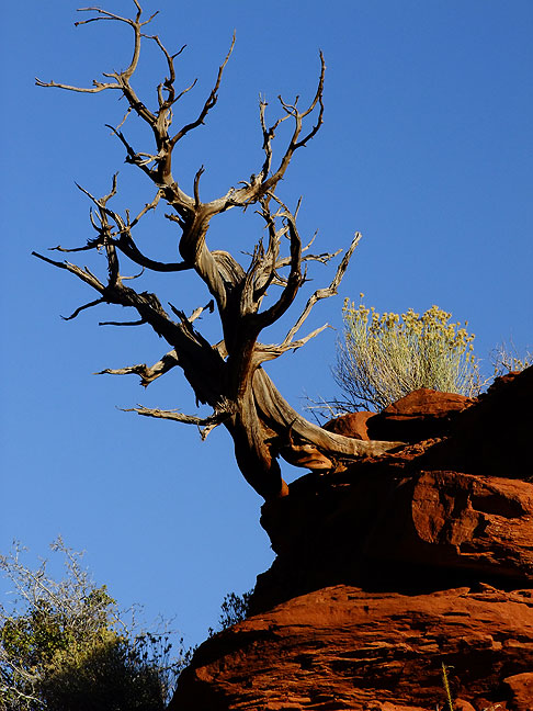 Tree and cliff, morning, Onion Creek Benches trail northeast of Moab, Utah.