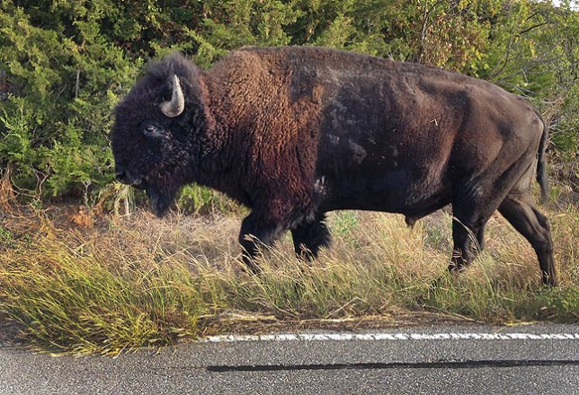 My first photo in the Refuge itself was of this handsome adult American Bison who was grazing by the side of the road.