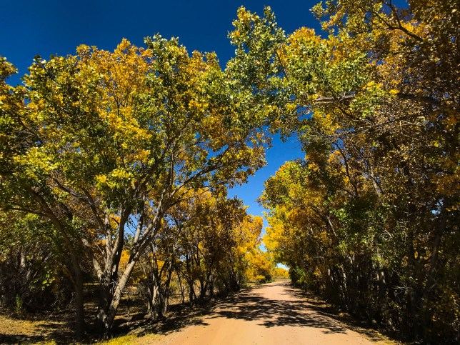 The loop drive at Bosque del Apache was beautiful, and included many colorful cottonwood trees.