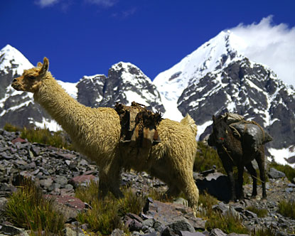 Is this an Alpacca or Llama?