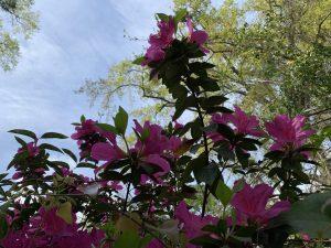 Pink azalea blooms.