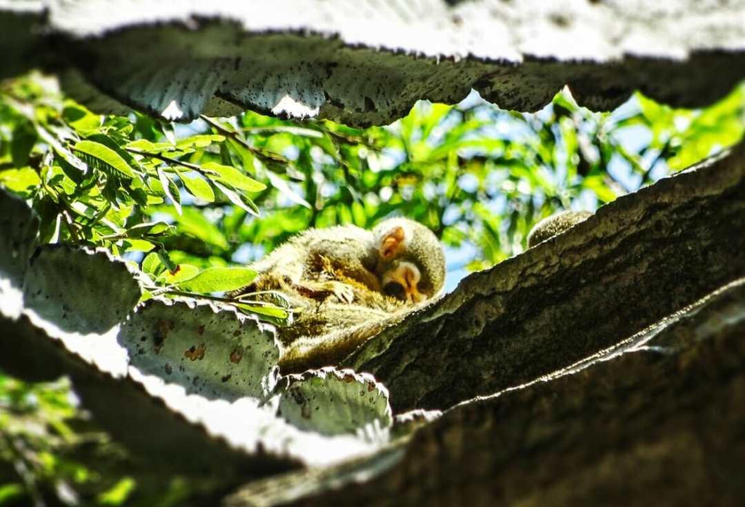 Sleeping baby squirrel monkey, Monkey Sanctuary
