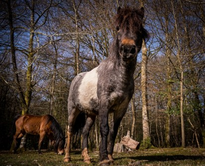 new-forest-ponies-2_16518848073_o