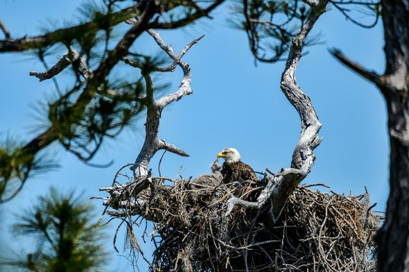 Bald-Eagle-Haliaeetus-leucocephalus-Raptor-Honeymoon-Island-13-009600.01