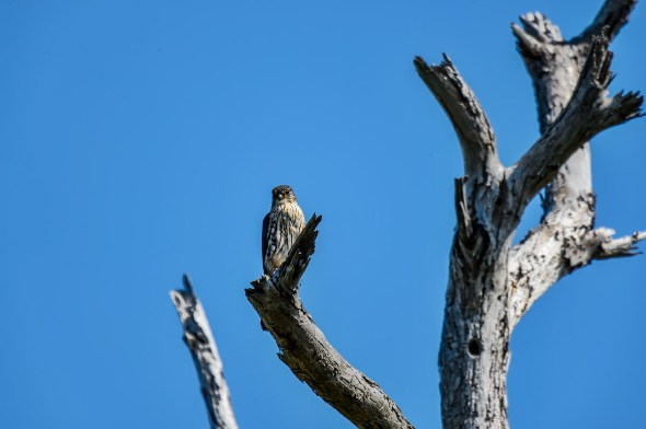 Merlin-Falco-columbarius-Raptor-Honeymoon-Island-13-009451.01
