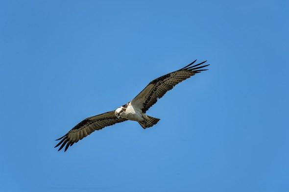 Osprey-Merritt-Island-0124991.01