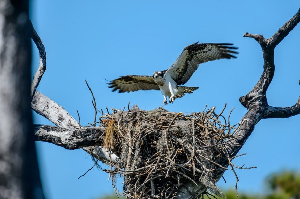 Osprey-Pandion-haliaetus-raptor-Honeymoon-Island-13-009489.01