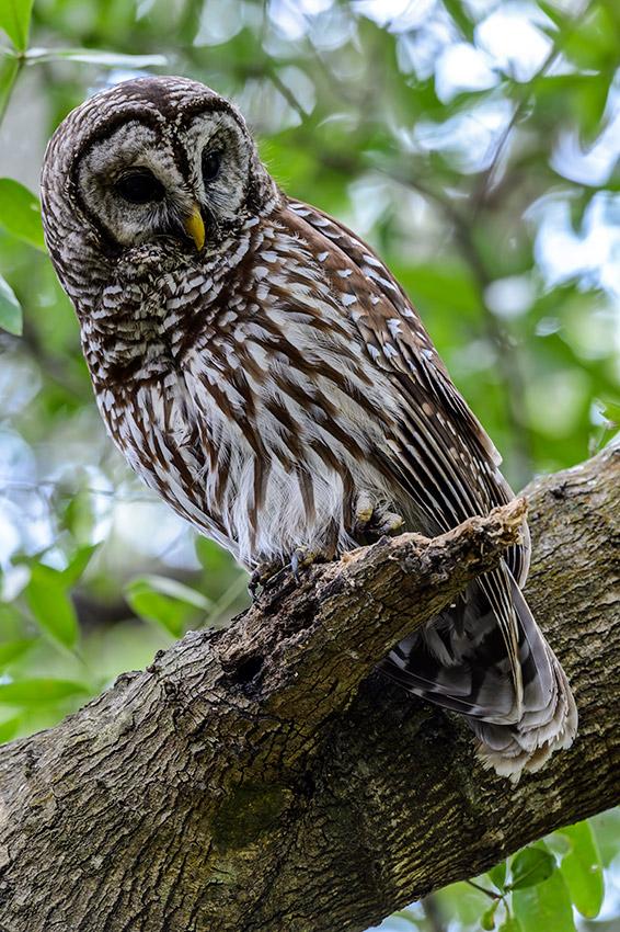 Barred-Owl-Fledgelings-Strix-varia-13-011185.vv