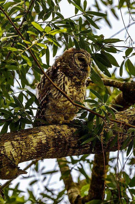 Barred-Owl-Fledgelings-Strix-varia-13-011187.vv