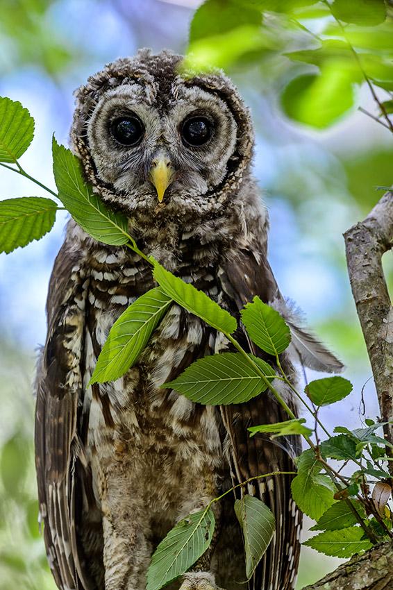Barred-Owl-Fledgelings-Strix-varia-13-011203.vv