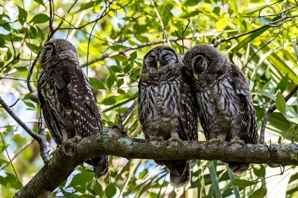 Barred-Owl-Fledgelings-Strix-varia-Pinecraft-Park-Sarasota-13-012364.vv