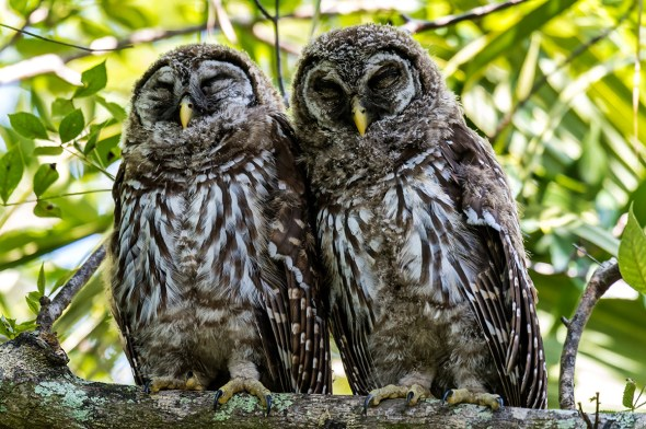 Barred-Owl-Fledgelings-Strix-varia-Pinecraft-Park-Sarasota-13-012367.vv