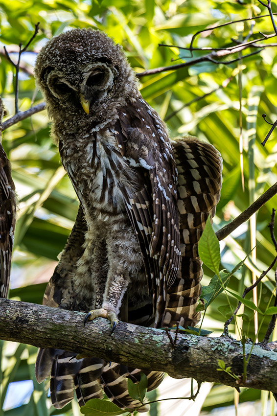 Barred-Owl-Fledgelings-Strix-varia-Pinecraft-Park-Sarasota-13-012380.vv