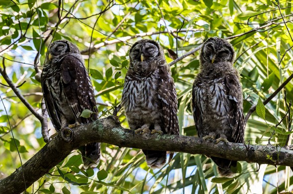 Barred-Owl-Fledgelings-Strix-varia-Pinecraft-Park-Sarasota-13-012440.vv
