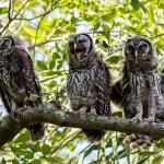 Barred-Owl-Fledgelings-Strix-varia-Pinecraft-Park-Sarasota-13-012452.vv