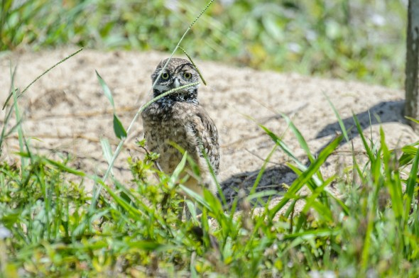 Burrowing-Owl-Athene-caunicularia-13-013264.vv