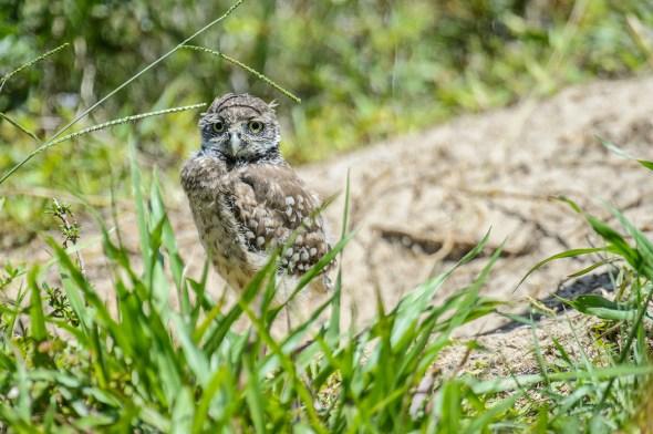 Burrowing-Owl-Athene-caunicularia-13-013266.vv