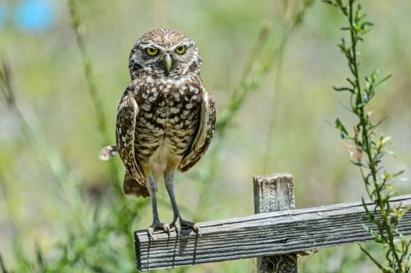 Burrowing-Owl-Athene-caunicularia-13-013274.vv