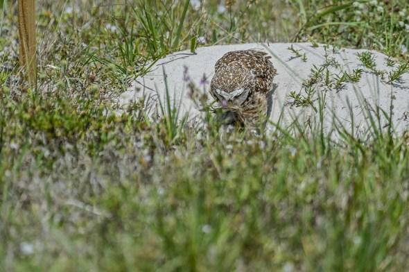 Burrowing-Owl-Athene-caunicularia-13-013351.vv