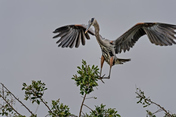Great-Blue-Heron-Ardea-herodias-The-Rookery-Venice-13-010351.vv