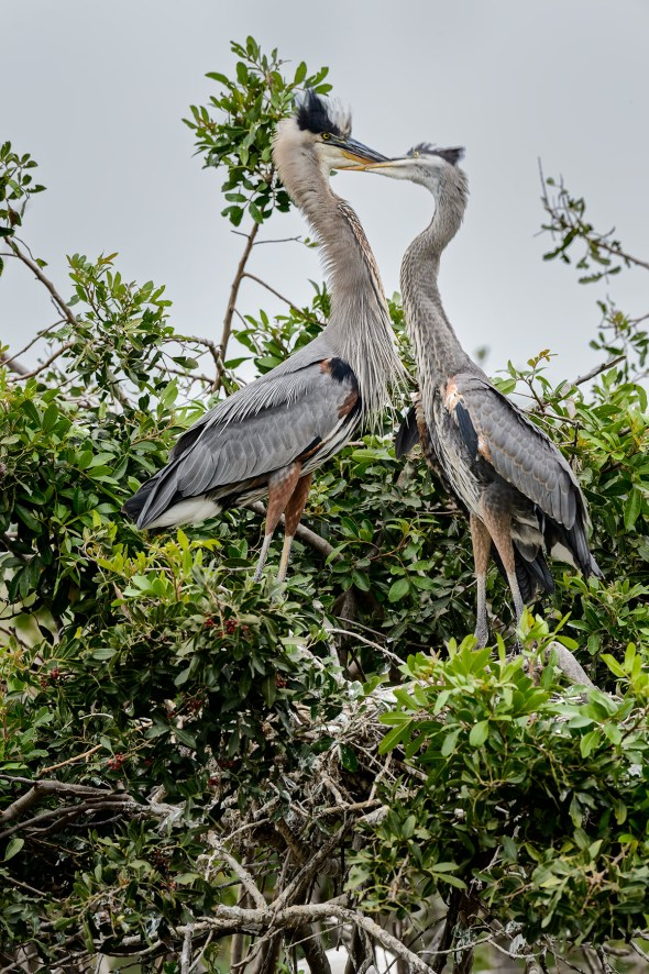 Great-Blue-Heron-Ardea-herodias-The-Rookery-Venice-13-010375.vv