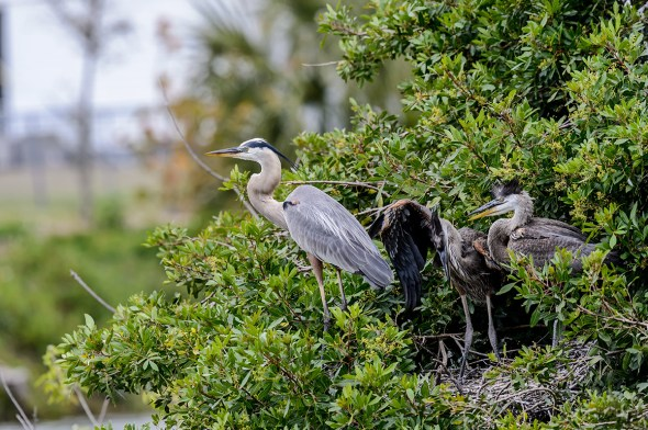 Great-Blue-Heron-Ardea-herodias-The-Rookery-Venice-13-010393.vv