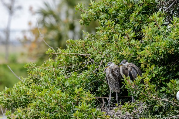 Great-Blue-Heron-Ardea-herodias-The-Rookery-Venice-13-010395.vv
