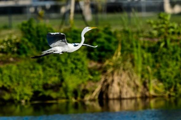 Great-Egret-Ardea-alba-The-Rookery-Venice-13-010787.vv